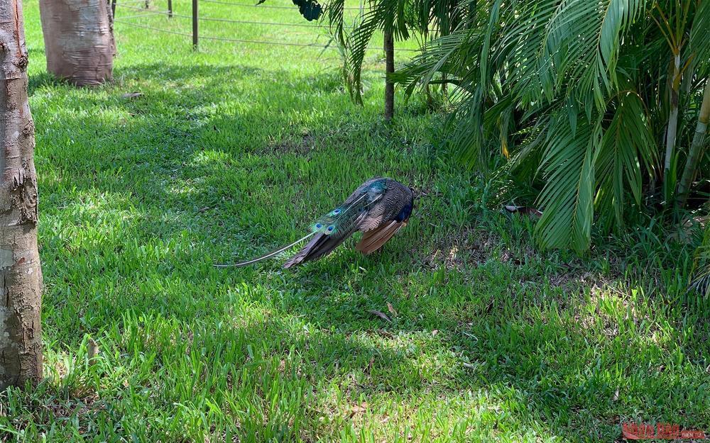 A peacock walking right outside the gate of the bird garden