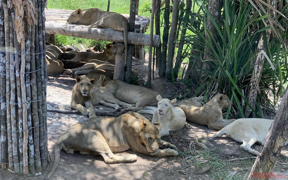 Lions hiding from the sun.