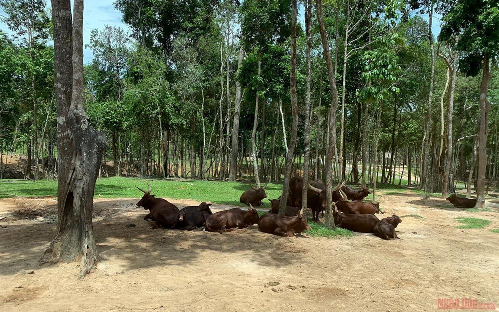 Long-horn oxen.