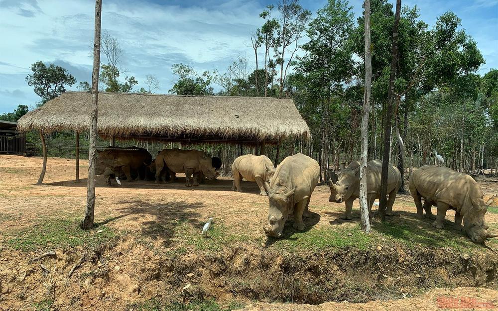 Safari Phu Quoc homes the most white rhinos in Vietnam.